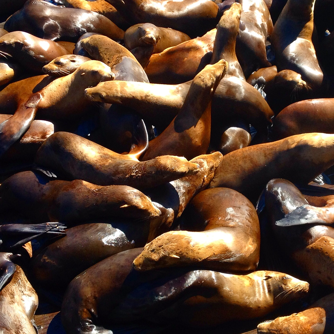 California Sea Lions, Monterey