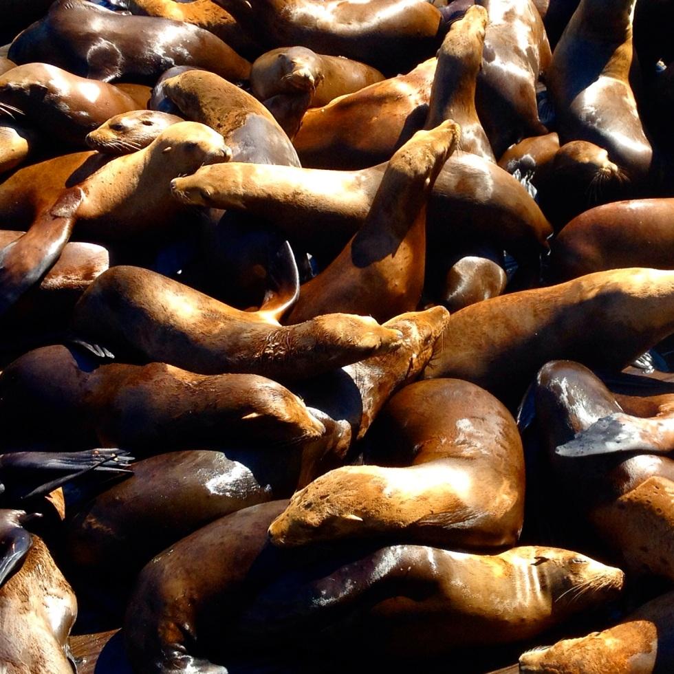 California Sea Lions, Monterey