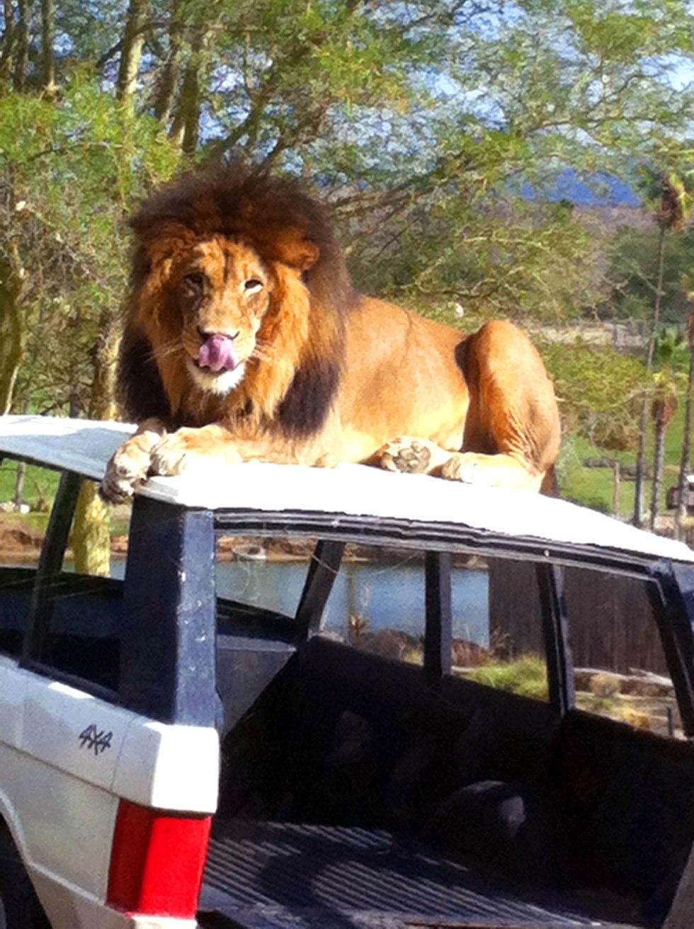 Safari-Park-Cat-Got-Your-Tongue-