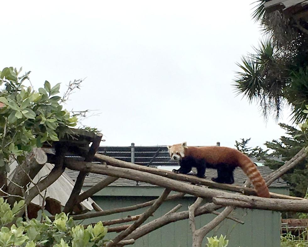 2016-7-7-Animals-Red Panda-SF Zoo