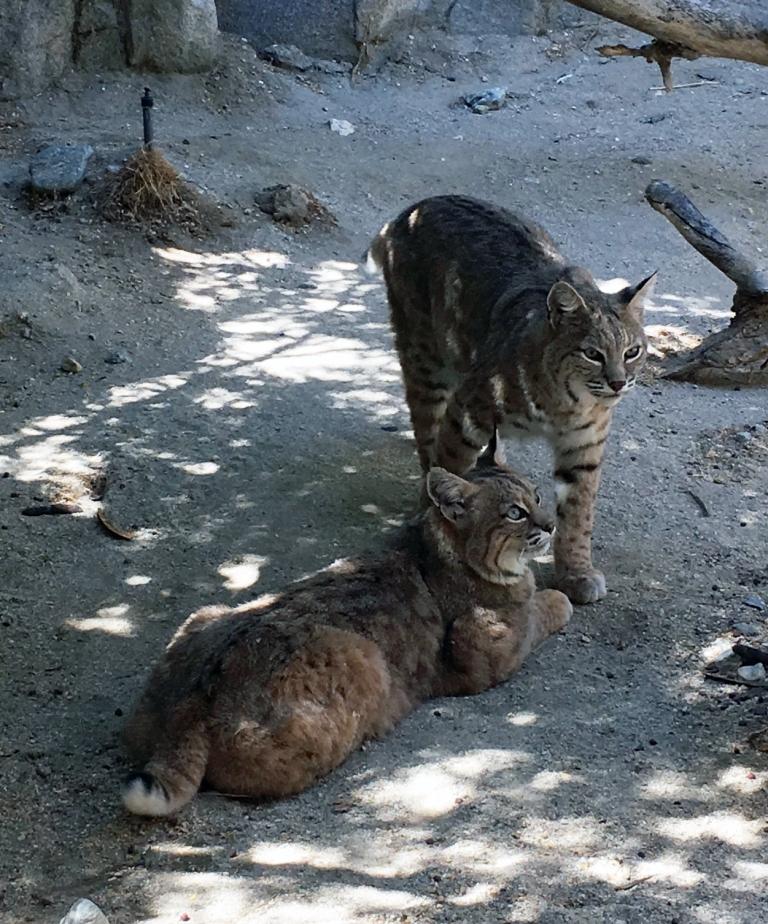 Bobcats-LivingDesert.jpg
