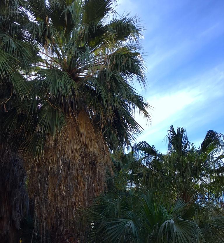 Living-Desert-PalmTrees.JPG