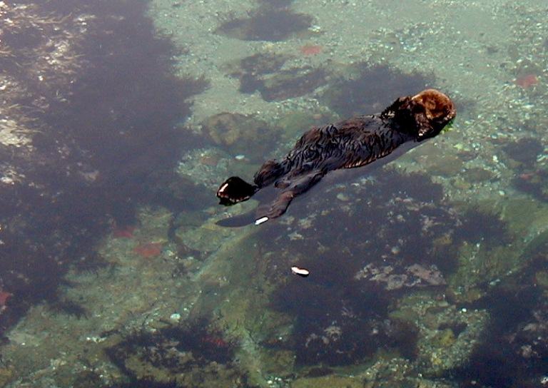 Snacking-Otter-Monterey.JPG